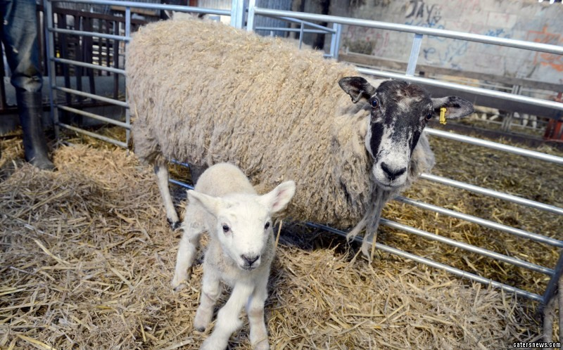 """She said: """"The vet said he'd never seen a live five-legged lamb, he'd only seen pictures."""""""