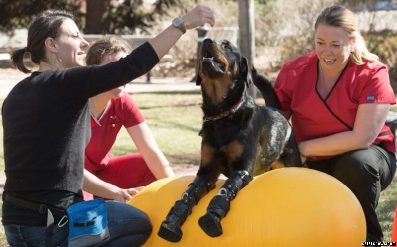 The two-year-old Rottweiler s only the second dog to survive on four artificial limbs
