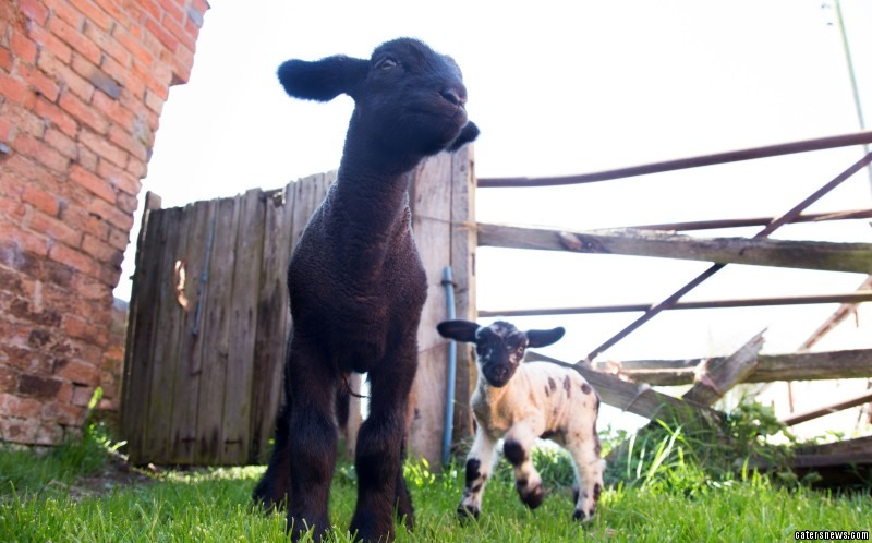 The adorable black Suffolk lamb weighs a whopping 20 pounds