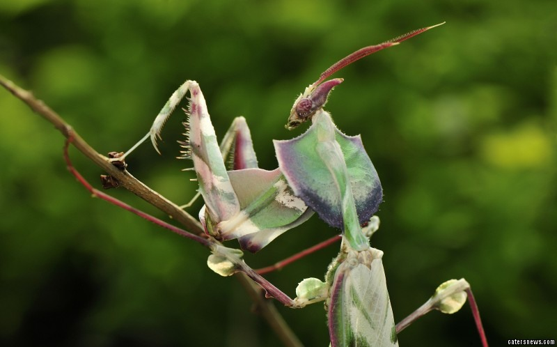 A giant mantis has been caught 'posing' for pictures
