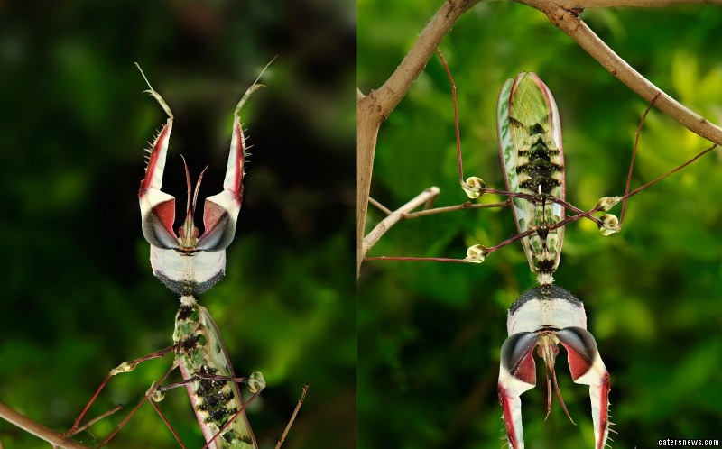 The striking Giant Devil's Flower Mantis put on an impressive display for shocked Thomas Marent