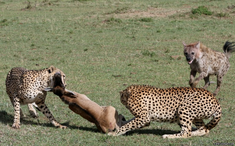 The baby wildebeest fights for life as the two cheetahs tear into its flesh