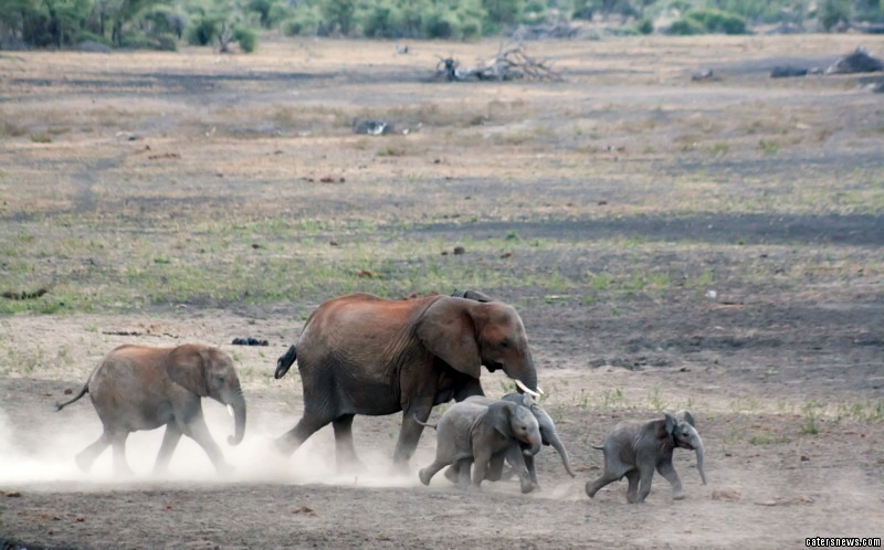 The thirsty elephants race to the watering hole