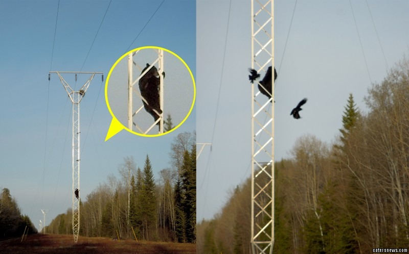 The brave bear ended up on top of an electricity pylon