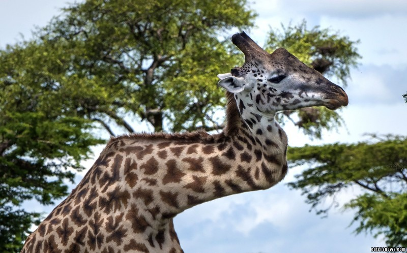 The Masai giraffe was discovered by photographer Mark Drysdale whilst in the Serengeti on safari