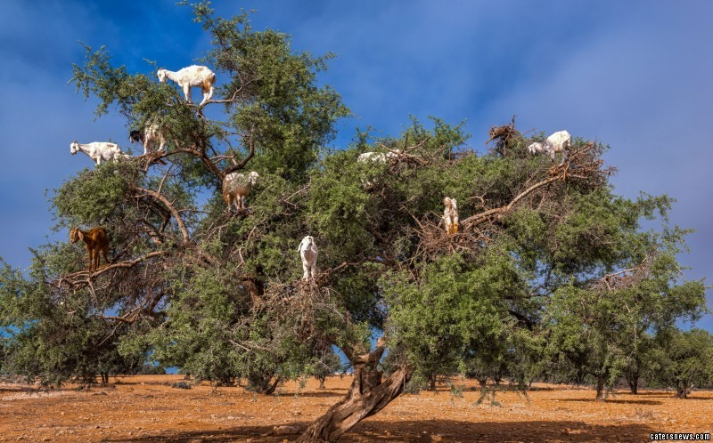 Goats stand in the trees to eat their leaves and fruit