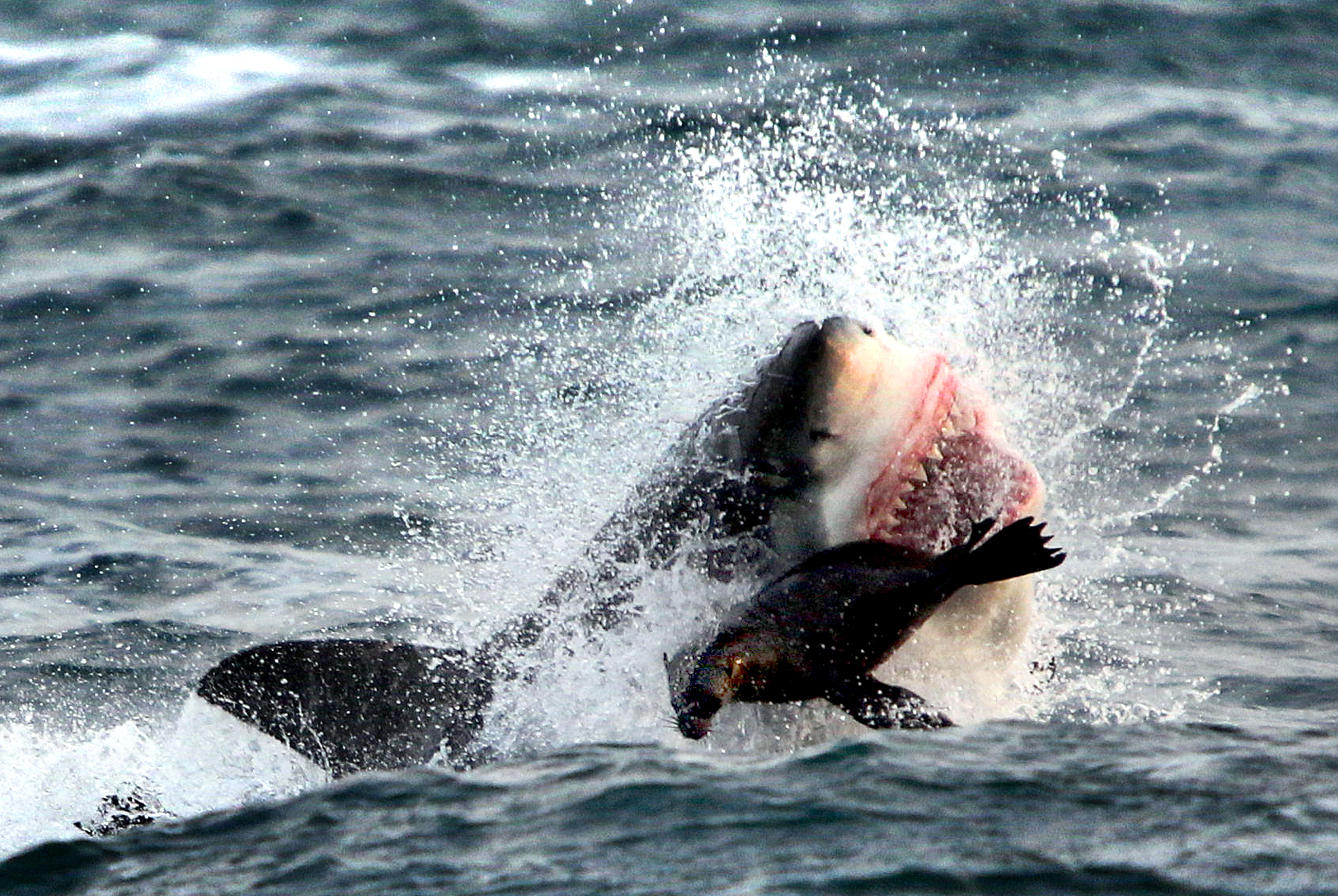 Incredible Moment Seal Escapes Great White Shark