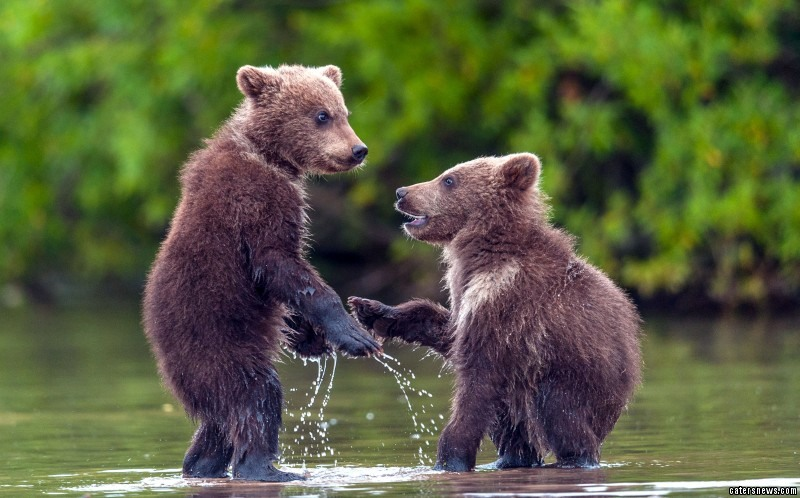 Two baby bears appear to shake hands - just like a real-life Brother Bear