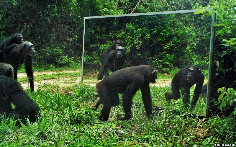 A group of chimpanzees inspect the mirror