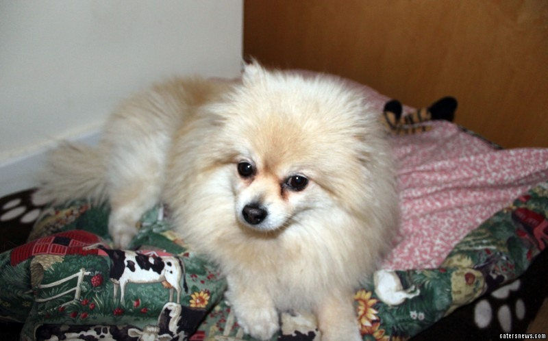 Jem the 10 year old pomeranian before her surgery for breast cancer