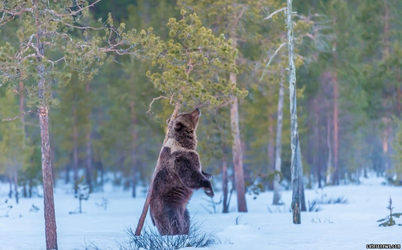 Bear uses a tree to scratch his back