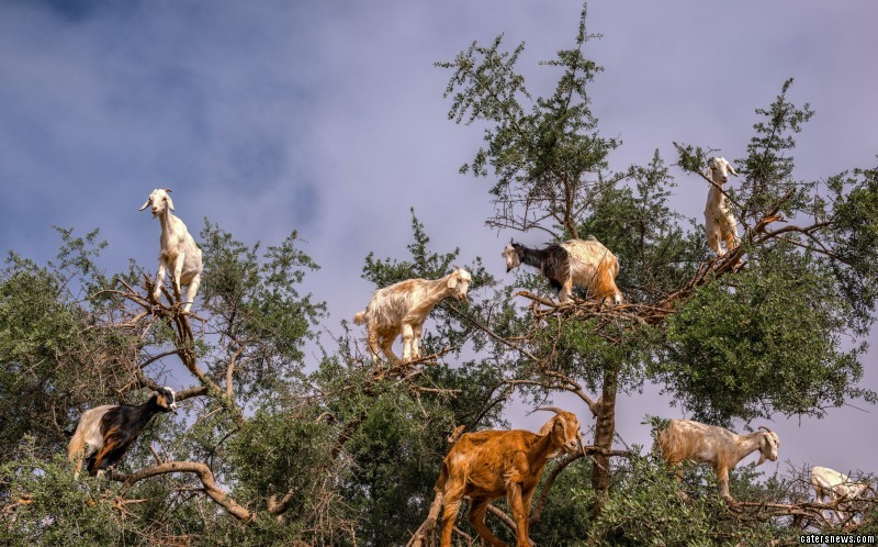 The goats clambered to the top of the large Argan tree in Tamri Morcocco