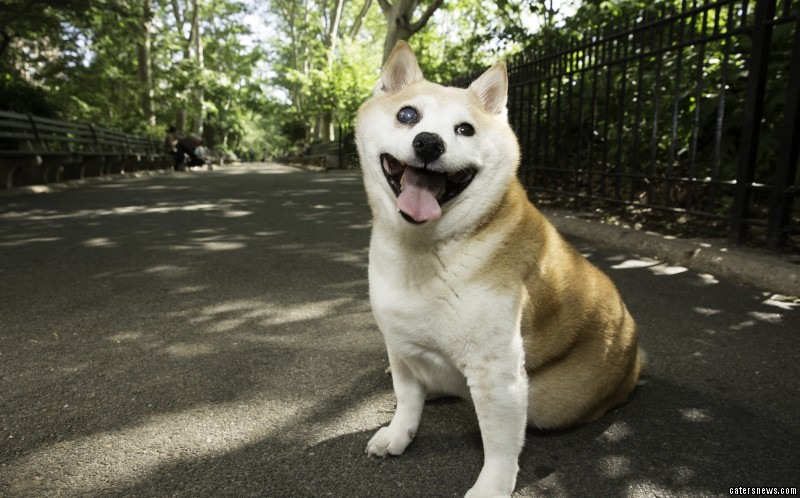 Cinnamon the smiling Shiba constantly wears a massive grin