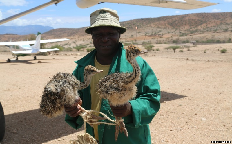 The chicks were in the care of the Kenya Wildlife Service but were handed over to the Trust