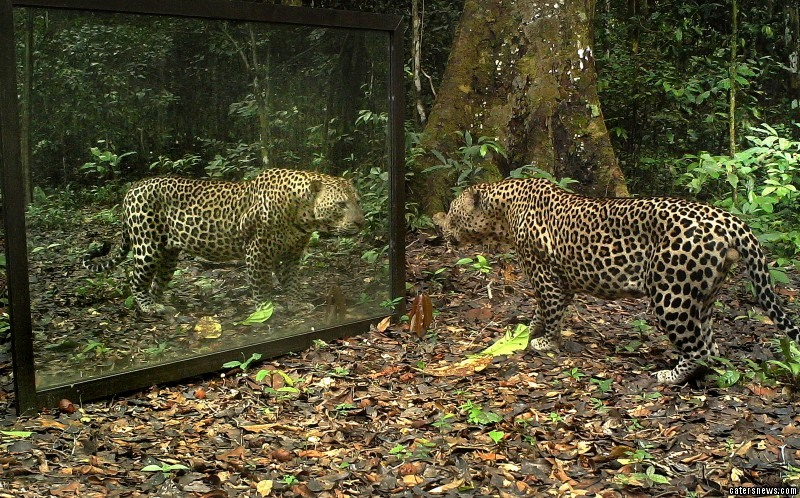 A leopard stares at his own reflection in the mirror
