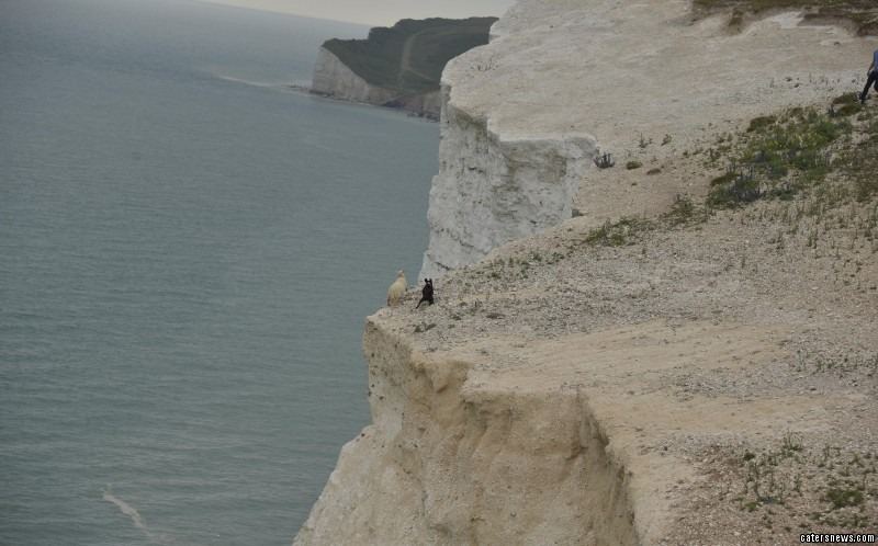 Sheep chased by dog to cliff edge at Seven Sisters Country Park, East Sussex, before falling 70ft