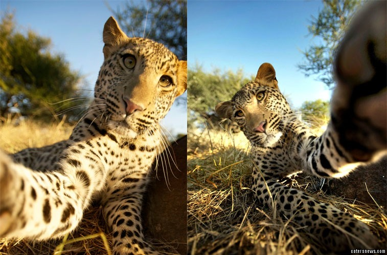 "He said: ""The second I walked and the leopards saw my camera and were all over me and it."""