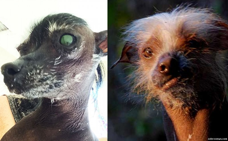 These dogs are battling it out for the title of world's ugliest dog