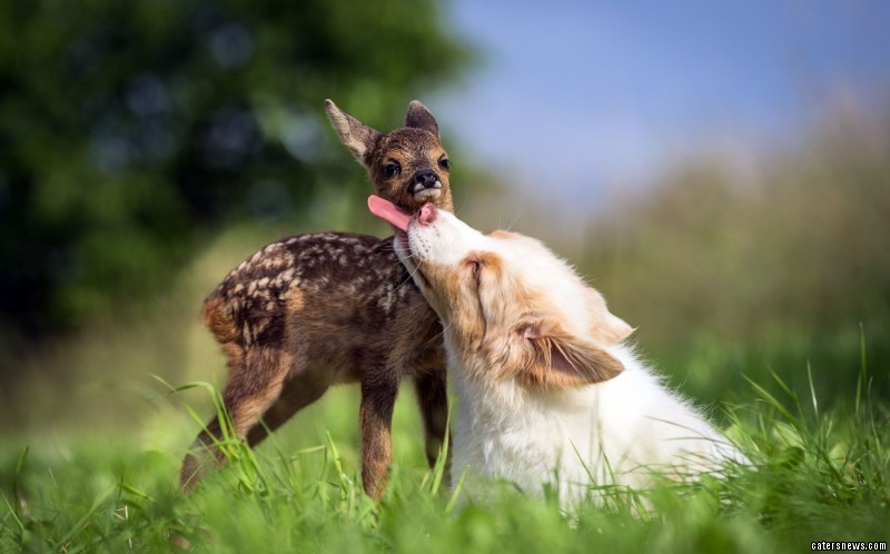 Hansi the fawn being loved affectionately by Lia the Australian Shepherd Puppy