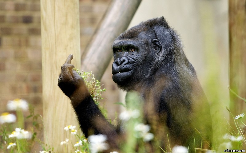 The grumpy gorilla, annoyed by having pictures taken of him, decided to stick his middle finger up at the photographer
