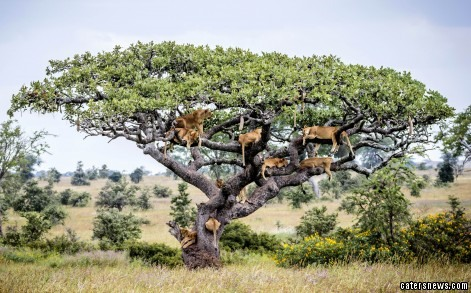 ***NOTE TO DESKS: ONLINE EMBARGO UNTIL 00:01HRS 6/7/15***PIC FROM CATERS NEWS - (Pictured: Lions napping up a tree in Central Serengeti, Tanzania ) - Just lion around! This is the bizarre moment an entire pride of lions decided to take a kip - 15 feet up a tree At least 15 of the beasts were caught on camera lounging on the branches of a sturdy tree in Central Serengeti, Tanzania  But while it might look as though they were using the vantage point to seek out prey, photographer Bobby-Jo Clow,from Dubbo, Australia, revealed the laid back pride were actually trying to escape flies living in the long grass. Bobby-Jo, 32, said: I was leading a photographic safari in the Serengeti and on our first official day in the park we came across this incredible sighting. SEE CATERS COPY