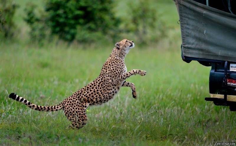 The cheetah about to jump into the jeep