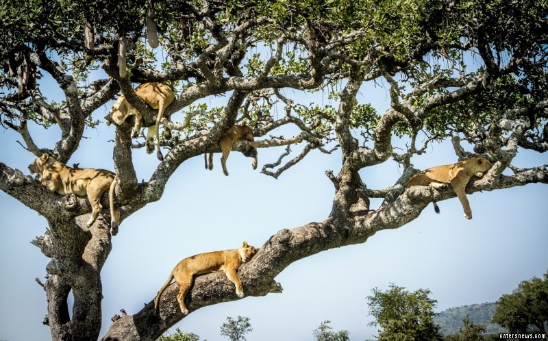 The lions can be seen enjoying some relaxing time in the safety of a high tree