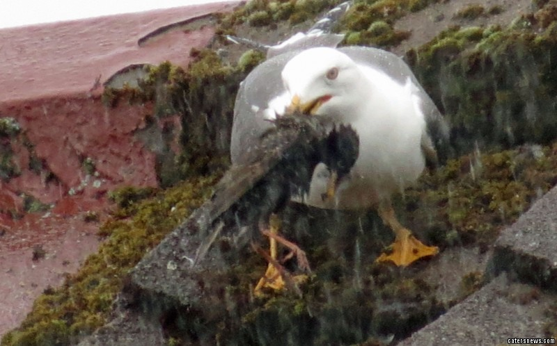 The gull holds the dead starling in its mouth