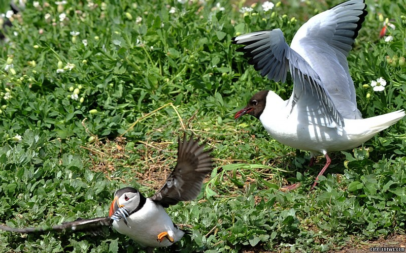 The puffin tries to run away from the gull and takes to fly away