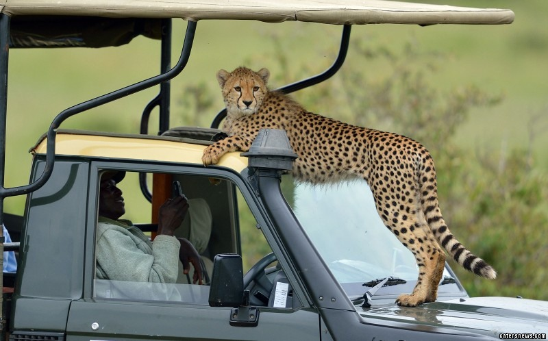 The cheetahs interacting with the jeep