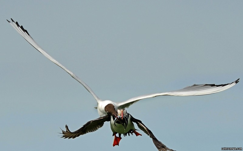 The puffin cant even escape in the air with the gull swooping down and stealing the food from the mouth of the puffin