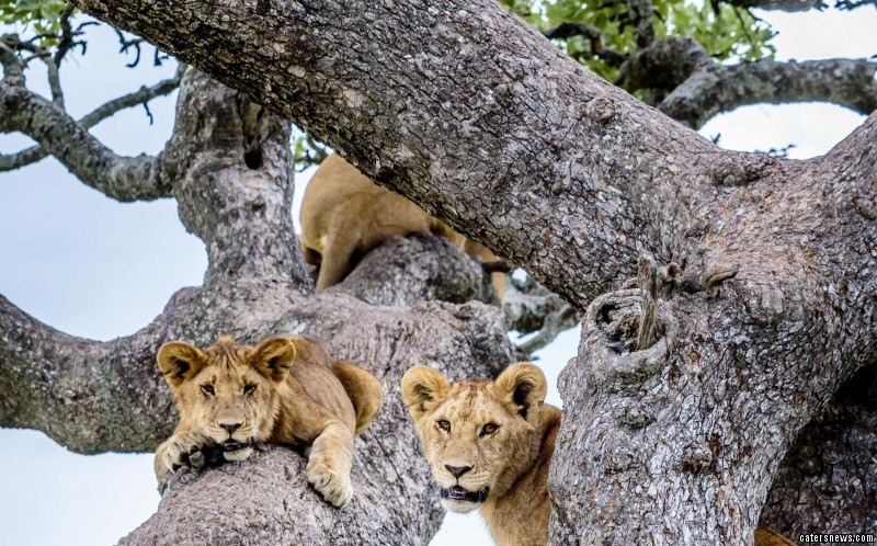 The lions were caught on camera lounging on the branches of a sturdy tree