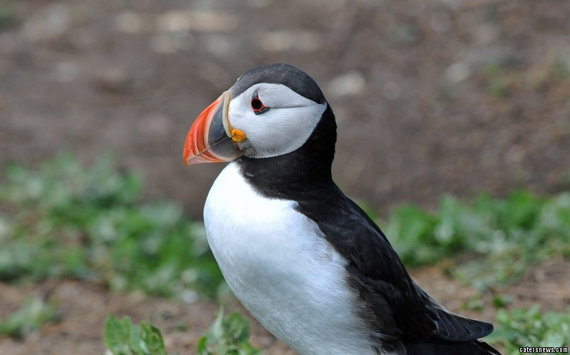 The puffin is left hungry and unable to feed her young