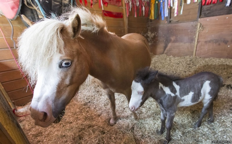 PIC FROM MIKEY JONES / CATERS NEWS - (PICTURED: Microdave the horse with his mother Haysden)