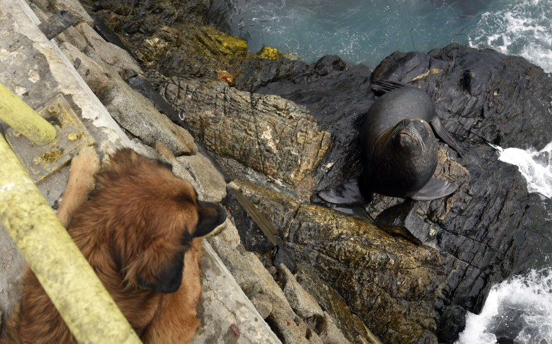 The dog keeping an eye on the Sealion as they wait for the fish