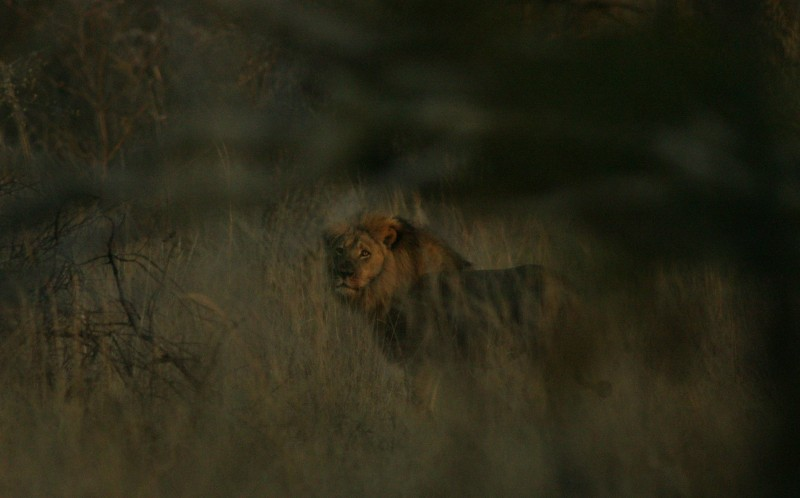 Jericho Lives! This is the first picture of Jericho the lion, Cecils second in command and proof that he is alive.