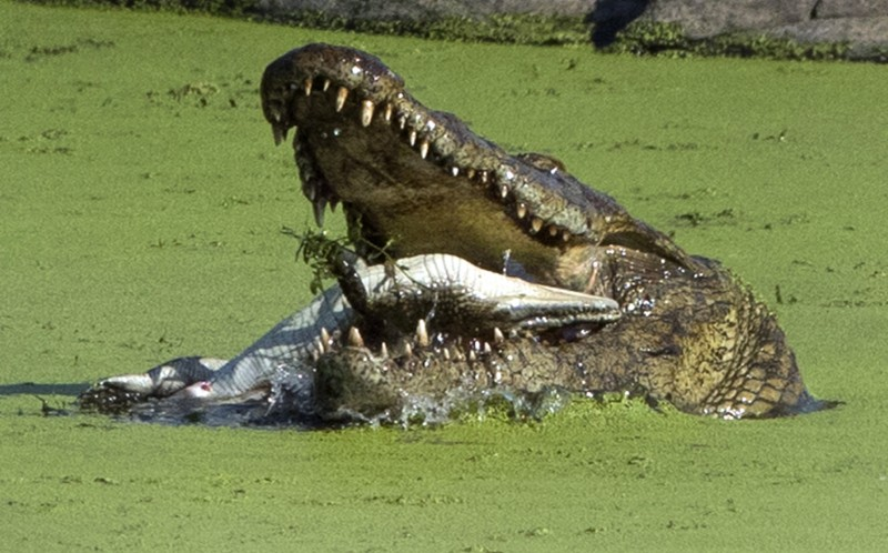 The crocodile must have been hungry