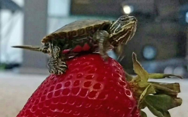 Dwight the Turtle on top of a strawberry
