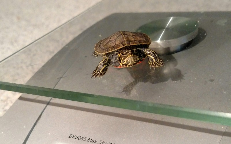 Dwight the Turtle on top of the scales
