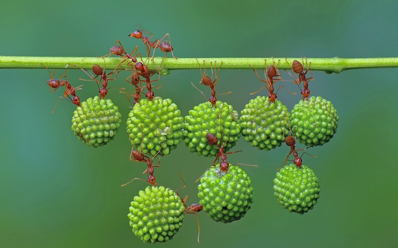 Ants team up together to help carry mimosa tree seeds along thin stems