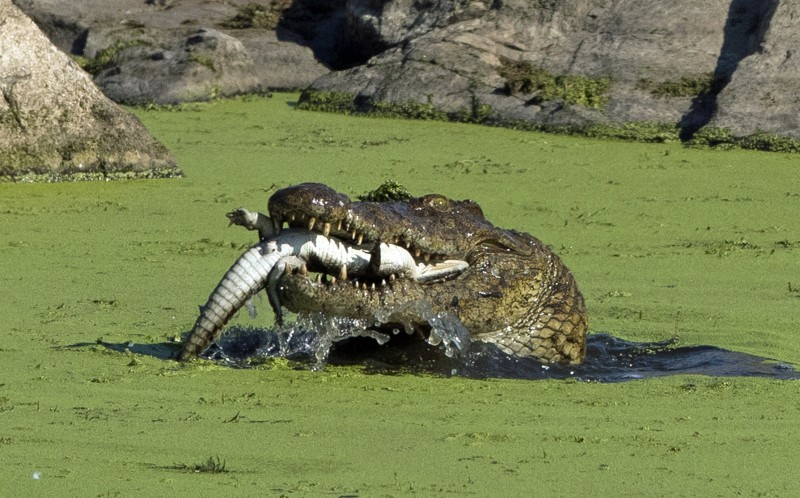 A baby crocodile is devoured by a larger croc in Kruger National Park, South Africa