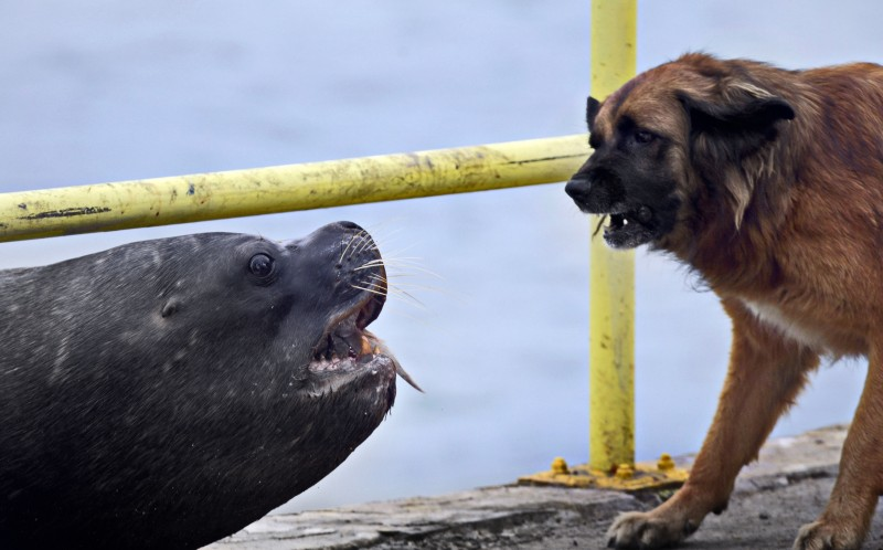 The dog backs off after the sea lion makes it clear that they fish is his