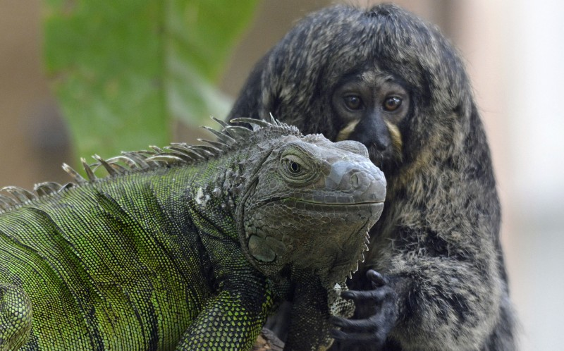 The adorable marmoset and her scaly friend