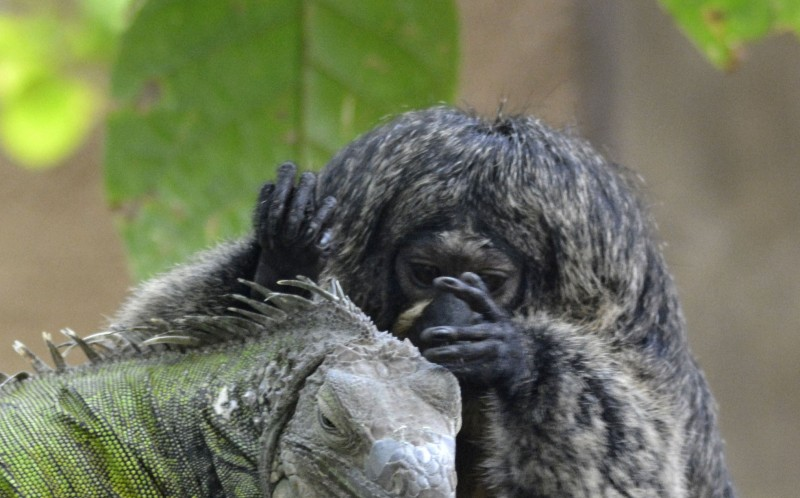 The adorable marmoset seems to think the iguana is one of her own