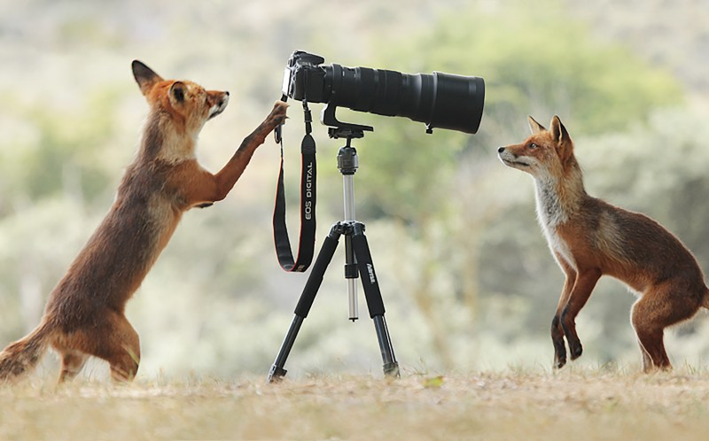 The two foxes inspecting the camera
