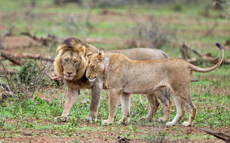 The lion relaxes with the lioness before the fight begins