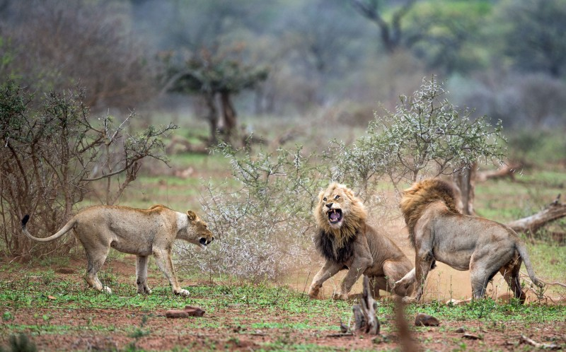 The lioness watches the male lions fight