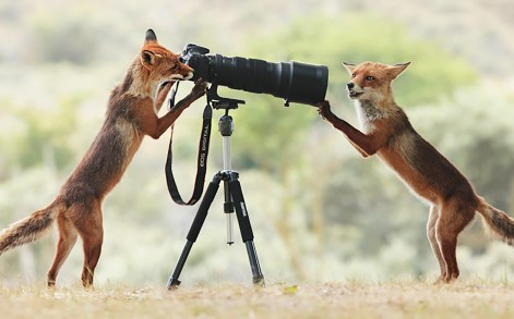 Fox getting close and personal to camera