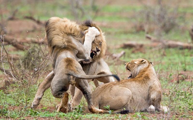 A male intruder comes in between the two lions and tries to win the lioness