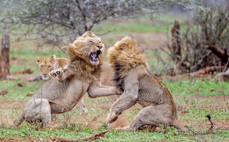 fight club dramatic pictures show scuffling lions attacking each